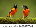 Orange tropic birds. baltimore...