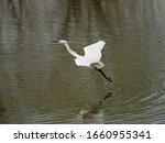 Flying Bird Over Lake  Great...