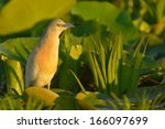 squacco heron on waterlily... | Shutterstock . vector #166097699