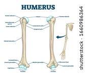 humerus bone labeled vector... | Shutterstock .eps vector #1660986364