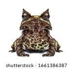 Long Nosed Horned Frog Facing...