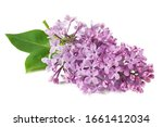 Lilac Flowers Closeup Isolated...