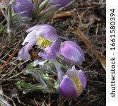Bumblebee Pollinates Pulsatill...