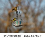 Two American Goldfinches Eating ...