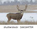 Huge Mule Deer Buck In Snow