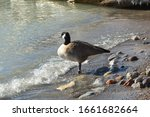 Canada Goose With Leg Bands...