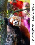 View Of A Red Panda  Ailurus...