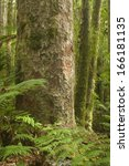 Small photo of Kauri Forest, Agathis australis, Tane Mahuta, New Zealand