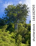 Small photo of Kauri, Dammarafichte, Agathis australis, New Zealand