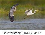 Gray Heron  Ardea Cinerea ...