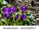 Crocus With Purple Petals On ...