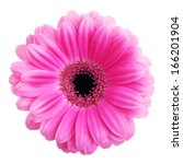 Pink Gerbera Flower Isolated On ...
