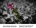 Small photo of A flower in colour sitting in a field of small greyed out rocks.