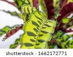 Calathea Lancifolia ...