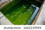 Green Algae Growing In The...