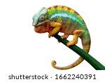 Beautiful Color Of Chameleon...