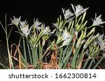 sea lilies blooming in the...   Shutterstock . vector #1662300814