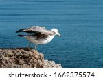 Close Up Of A Young Seagull At...