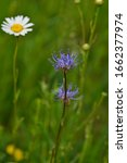 Phyteuma Orbiculare Or Round...