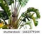 group of big green banana...   Shutterstock . vector #1662379144