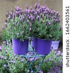 Lavender Plants In Three Violet ...