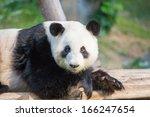 Closeup Of Panda Bear