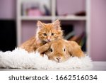 ginger cat and rabbit playing...   Shutterstock . vector #1662516034