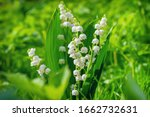 Lily Of The Valley. Flower...