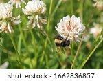 Bumblebee Sitting On Dutch...