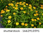 Large Group Of Yellow Flowers...