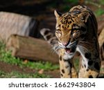 The Clouded Leopard  Neofelis...