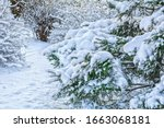 snow covered spruce tree branch.... | Shutterstock . vector #1663068181