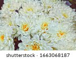 white beautiful chrysantemum... | Shutterstock . vector #1663068187