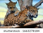 Jaguar Cub   Mon Playing Are A...