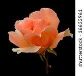 Romantic Rose  Variety