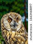 Owl Portrait. Owl Eyes Look....