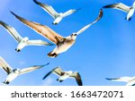 Seagulls fly in blue sky....
