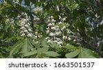 flowering tree chestnut flowers ... | Shutterstock . vector #1663501537