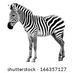 Stock photo young male zebra isolated on white background 166357127
