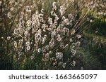 Cotton Grass In Cabo Polonio