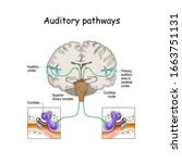 auditory pathways from cochlea... | Shutterstock .eps vector #1663751131