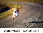 Dog Beagle Running Fast And...