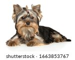 Yorkshire Terrier Puppy Posing...