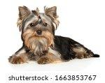 Yorkshire Terrier Puppy Posing...