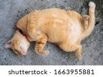 Adorable Ginger Cat With Big...