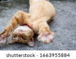 Adorable Ginger Cat Roll On The ...