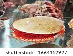 A Red Flame Scallop In Marine...