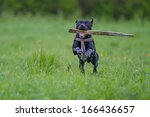 Stock photo dog retrieving a stick 166436657
