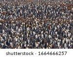 King penguins  aptenodytes...