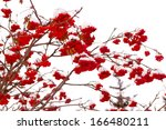 Red Bunches Of Rowan On White...